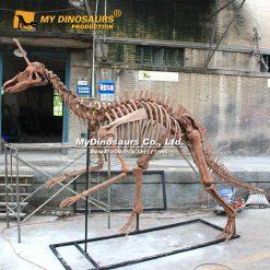 Tsintaosaurus skeleton 1