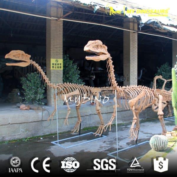 Life size dilophosaurus skeleton