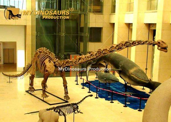 Mamenchisaurus skeleton 5