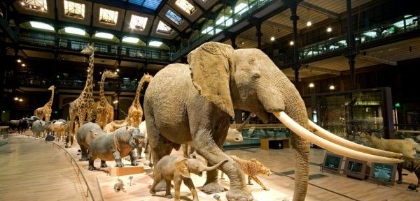 elephants museum display
