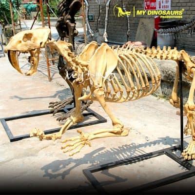 Saber Toothed Cat Skeleton