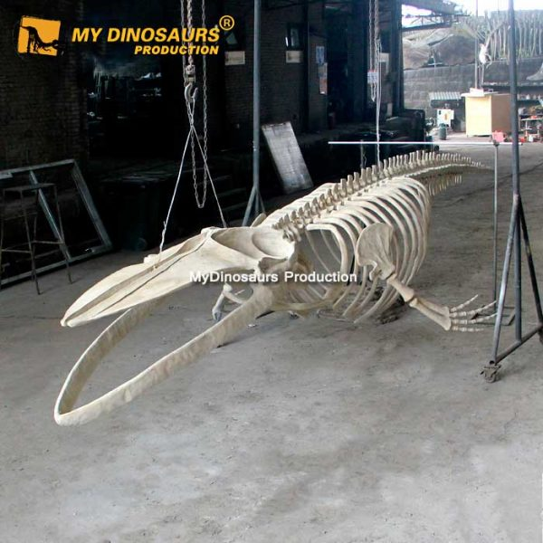 8m blue whale skeleton