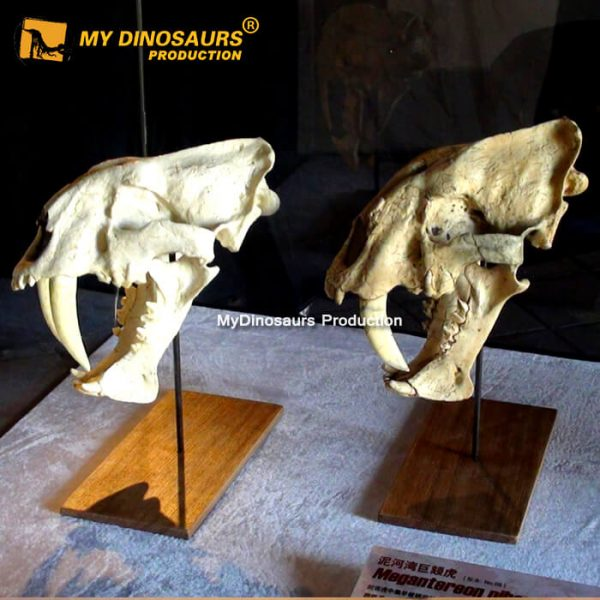 Animal skulls smilodon 1