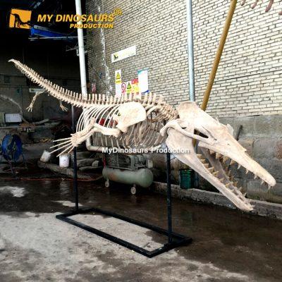 Basilosaurus skeleton