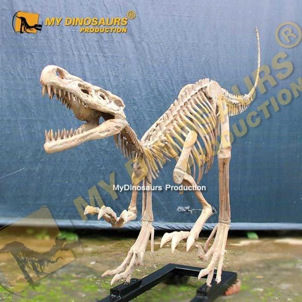 velociraptor skeleton 1