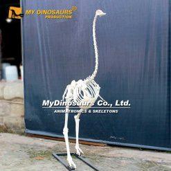 Ostrich skeleton 2