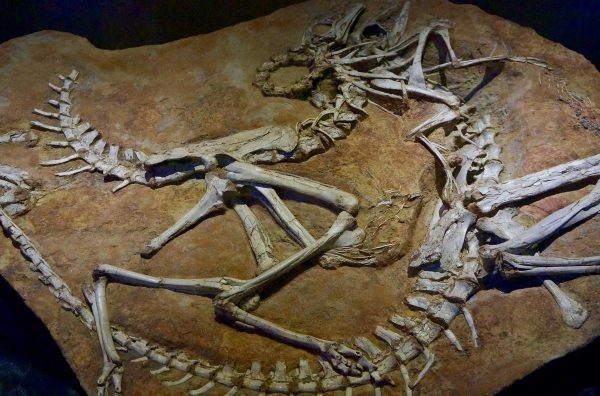 dinosaur fossil replicas
