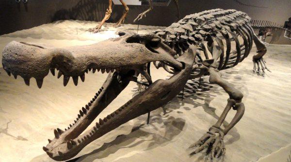Deinosuchus museum skeleton