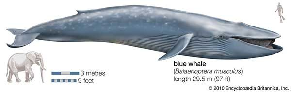 Deep in the Sea Enormous Whales